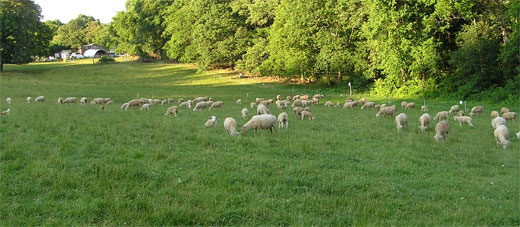 Ewes and lambs grazing lush green grass at Jehovah-Jireh Farm
