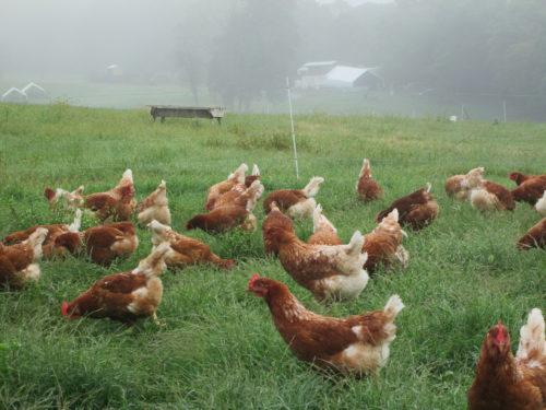 Hens ranging in the morning fog
