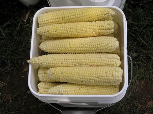 Sweet Corn 2011