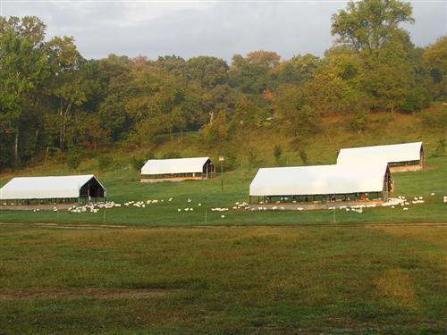 Free-range broilers on pasture