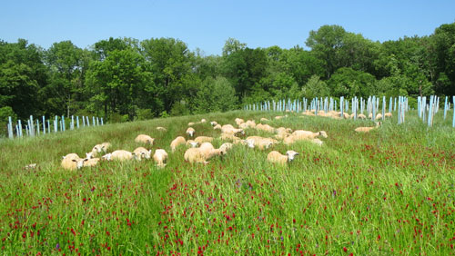 Sheep grazing what appeared to be very lush forage in the silvopasture demonstration plot.
